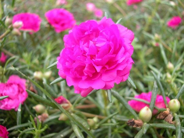 Hoa mười giờ là loại cây có sức sống mạnh mẹ, dễ trồng