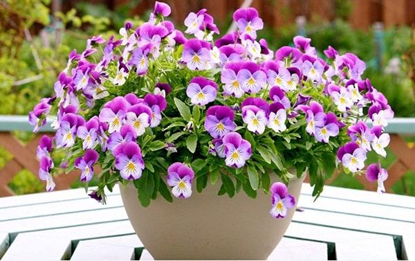 Cây hoa pansee có vẻ đẹp quyến rũ