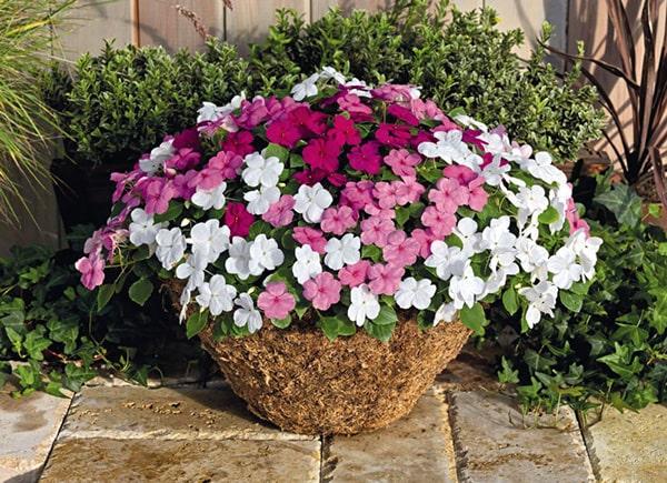Cây hoa mai địa thảo sẽ tô điểm cho ban công chung cư