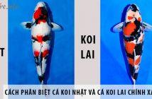 Cách phân biệt cá koi Nhật và cá koi lai chính xác nhất