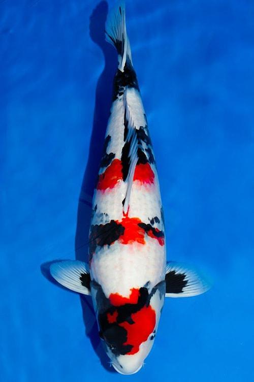 Hình dáng và màu sắc của cá koi Nhật rõ nét, đậm màu