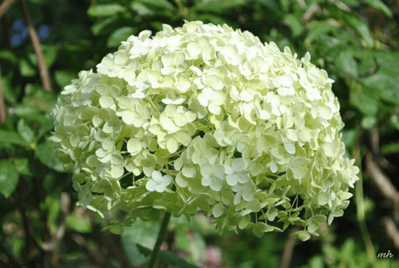 Hoa cẩm tú cầu hợp tuổi Nhâm Ngọ mệnh Mộc