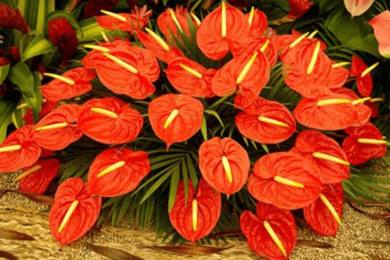 Hoa hồng môn đỏ hợp tuổi Mậu Ngọ mệnh Hỏa