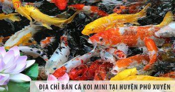Địa chỉ bán cá koi mini đẹp, giá rẻ tại huyện Phú Xuyên