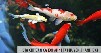 Địa chỉ bán cá koi mini đẹp, giá rẻ tại huyện Thanh Oai