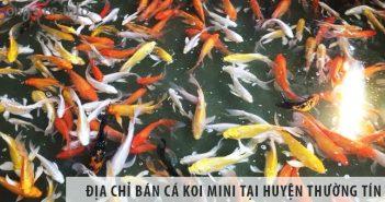 Địa chỉ bán cá koi mini đẹp, giá rẻ tại huyện Thường Tín